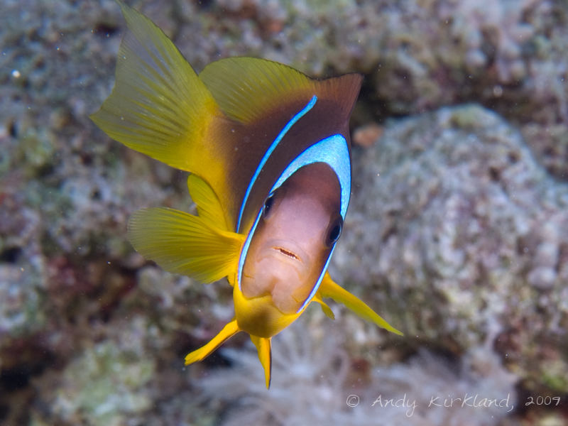 Photo at Shark & Yolanda Reefs:  Twoband anemonefish
