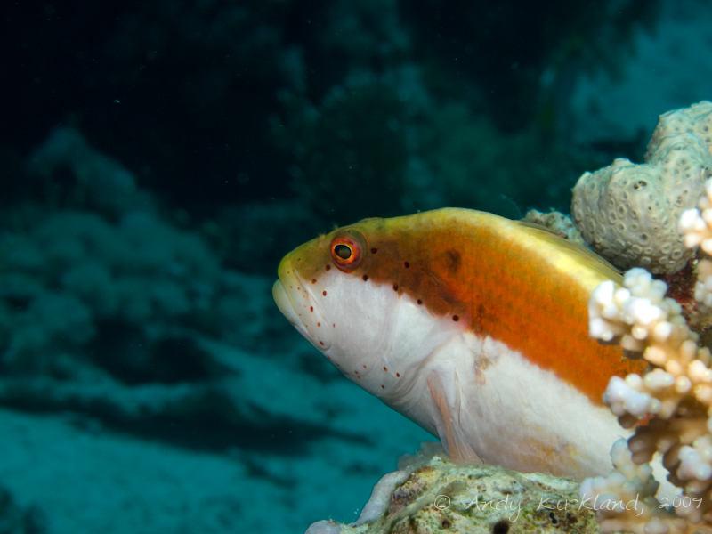 Photo at Shark & Yolanda Reefs:  Blackside hawkfish