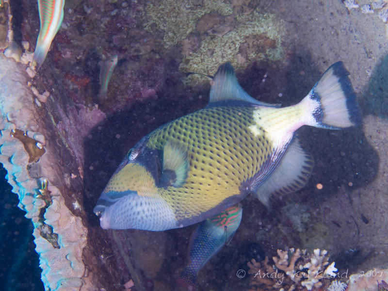 Photo at Shark & Yolanda Reefs:  Titan triggerfish