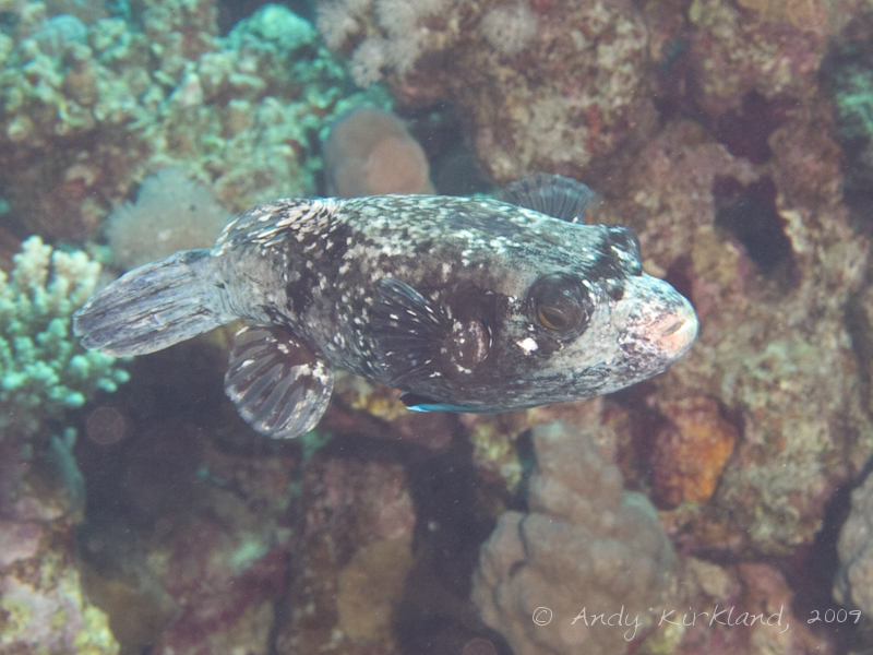 Photo at Jackfish Alley:  Masked puffer