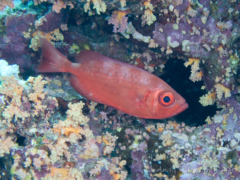 Photo at Jackson Reef- North side:  Moontail bullseye