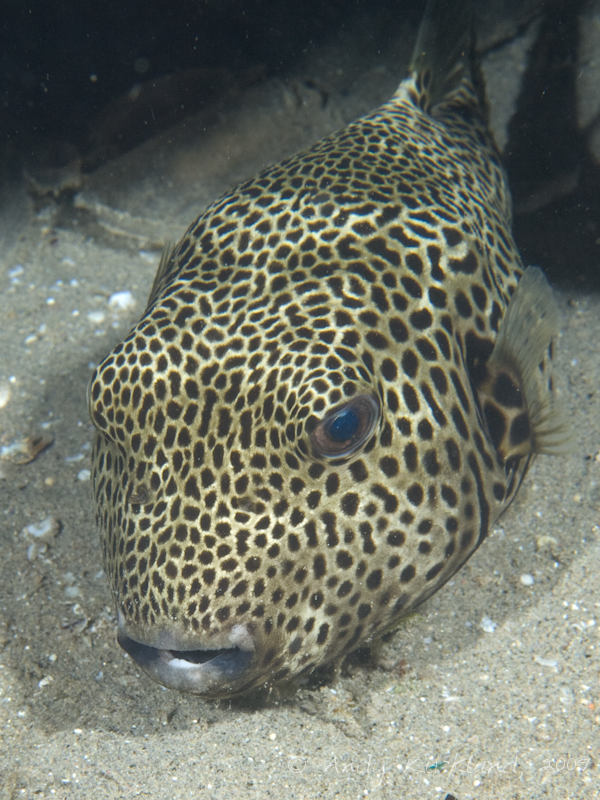 Photo at Movenpick Reef:  Starry toadfish