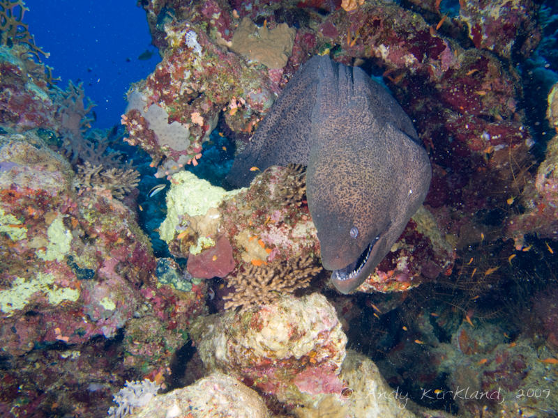 Photo at Gordon Reef:  Giant moray