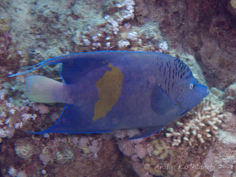Photo at Gordon Reef:  Yellowbar angelfish
