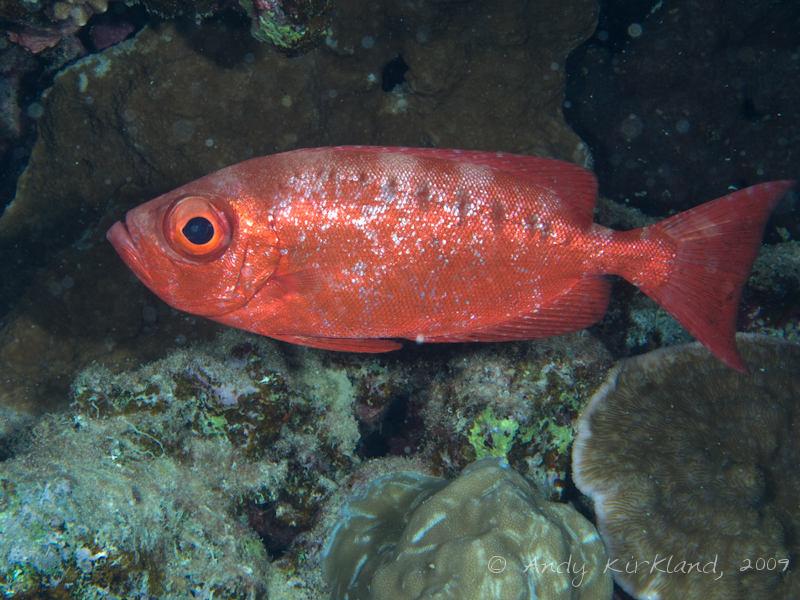 Photo at Gordon Reef:  Moontail bullseye