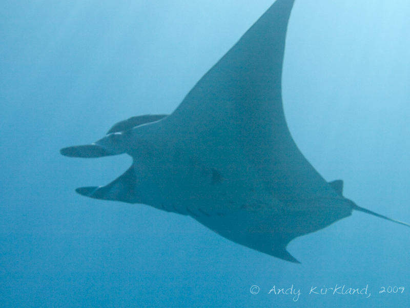 Photo at Ras Ghazlani:  Manta ray