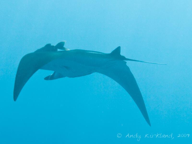 Photo at Ras Ghazlani:  Manta ray