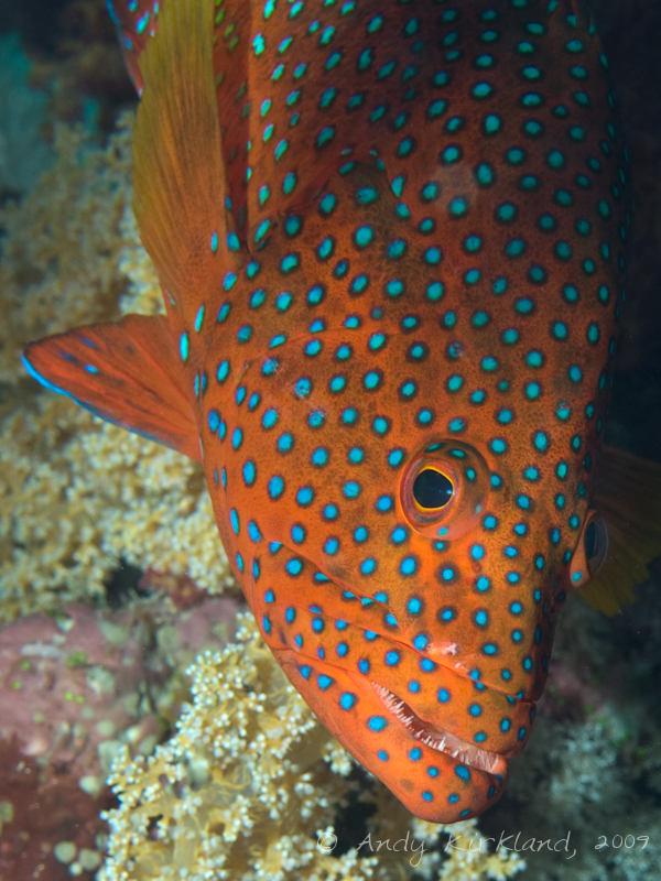 Photo at Ras Ghazlani:  Coral hind