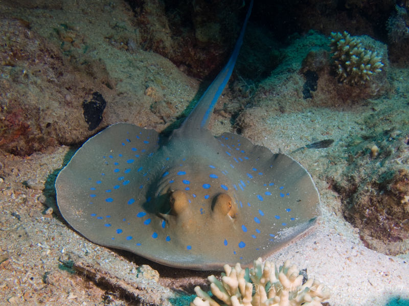 Photo at Shark & Yolanda Reefs:  Bluespotted ribbontail ray