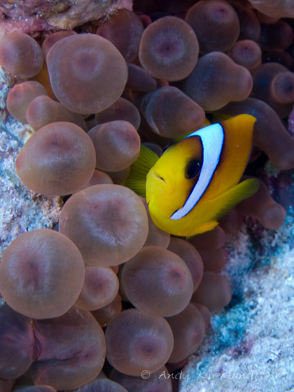 Photo at Ras Um Sid:  Twoband anemonefish