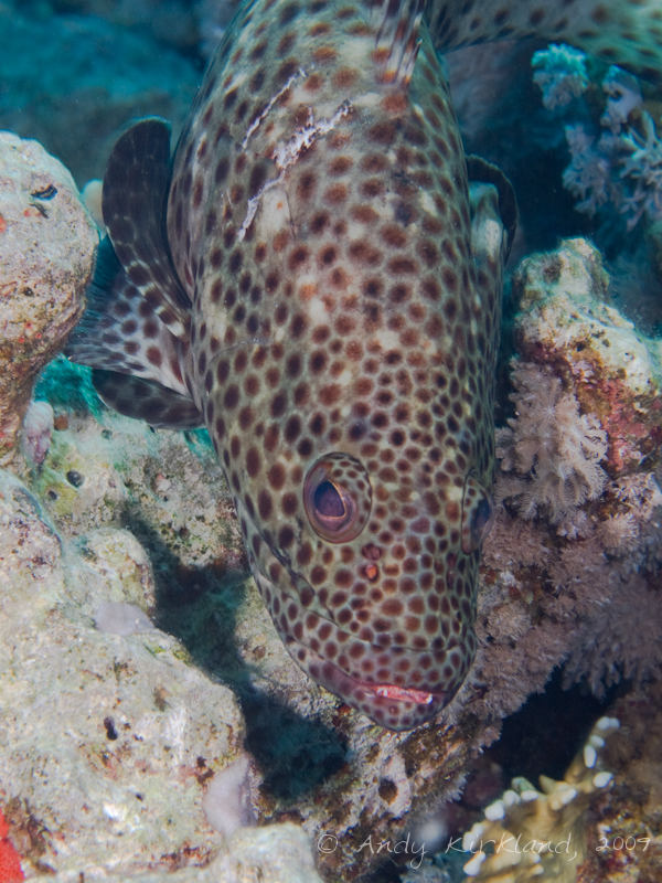 Photo at Ras Um Sid:  Greasy grouper