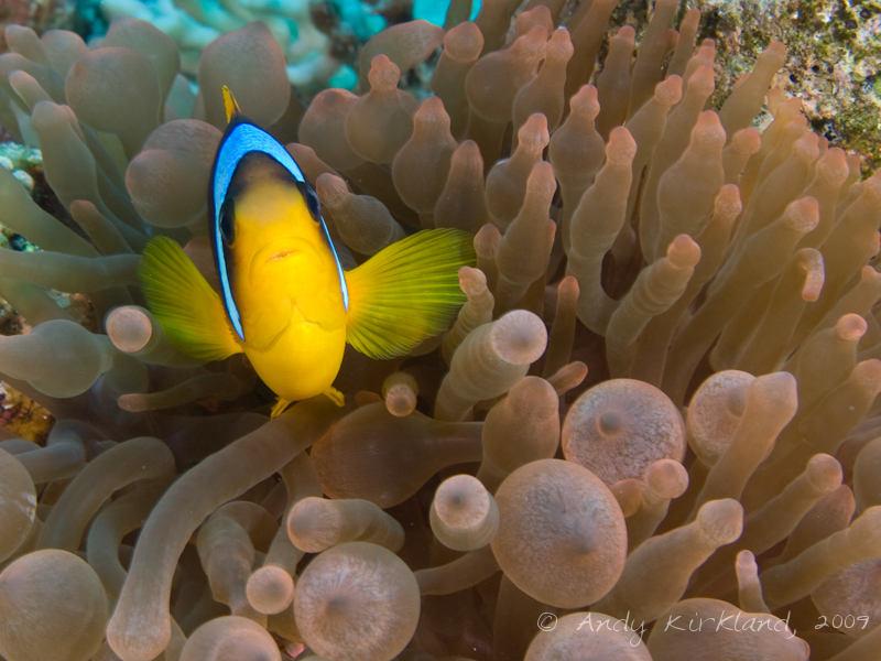 Photo at Ras Bob:  Twoband anemonefish
