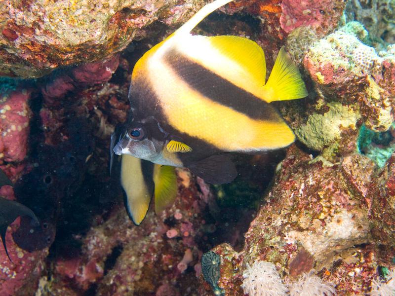 Photo at Ras Bob:  Red Sea bannerfish