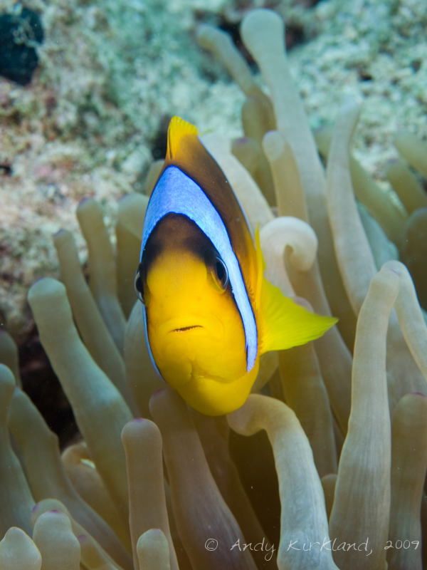 Photo at Ras Bob:  Twoband anemonefish