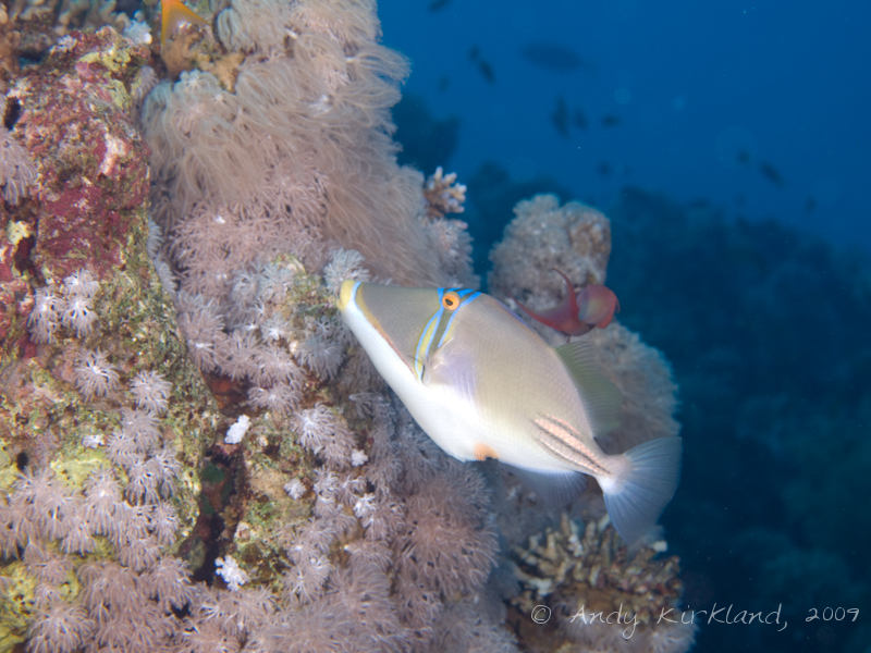 Photo at Gordon Reef:  Picasso triggerfish