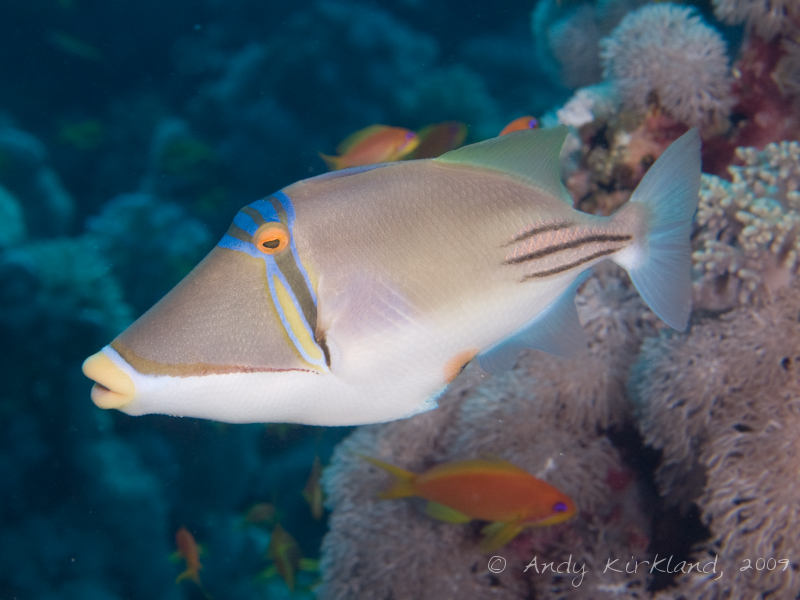 Photo at Gordon Reef:  Picasso triggerfish