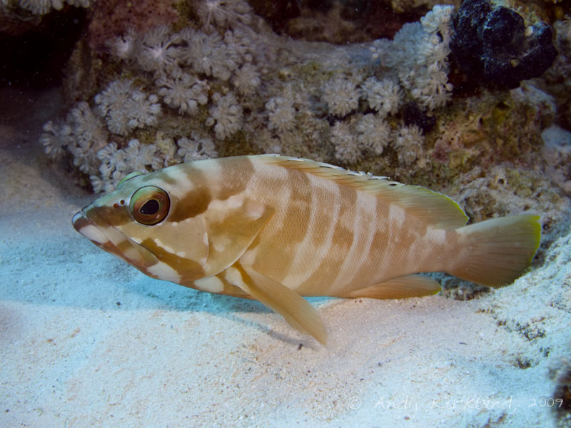 Photo at Gordon Reef:  Blacktip grouper