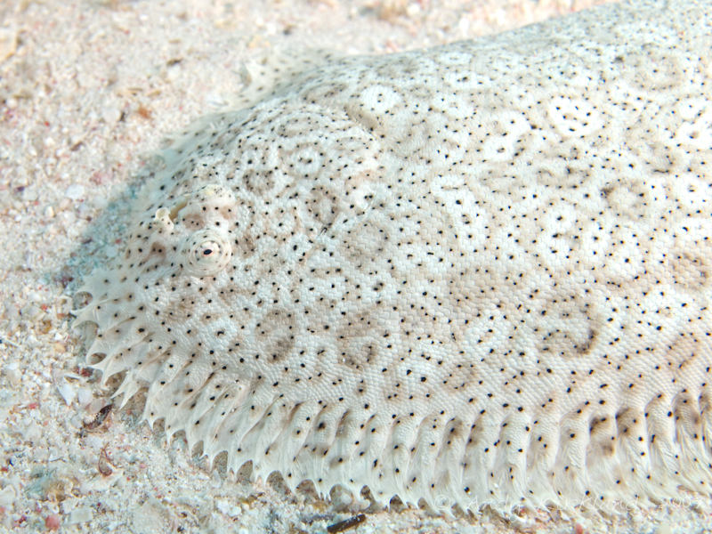 Photo at Gordon Reef:  Finless sole