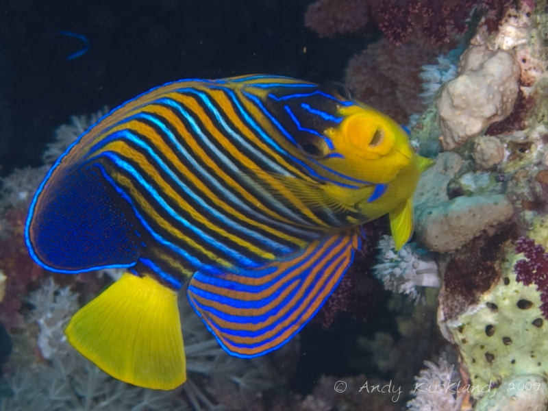Photo at Shark & Yolanda Reefs:  Royal angelfish