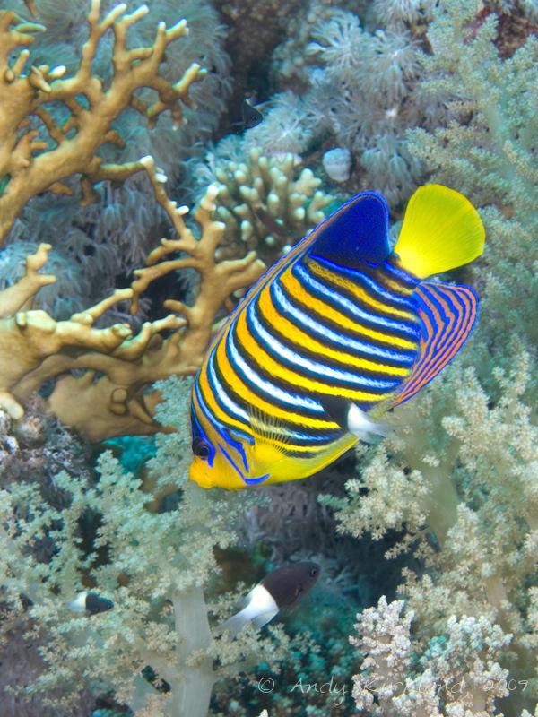 Photo at Shark & Yolanda Reefs:  Royal angelfish