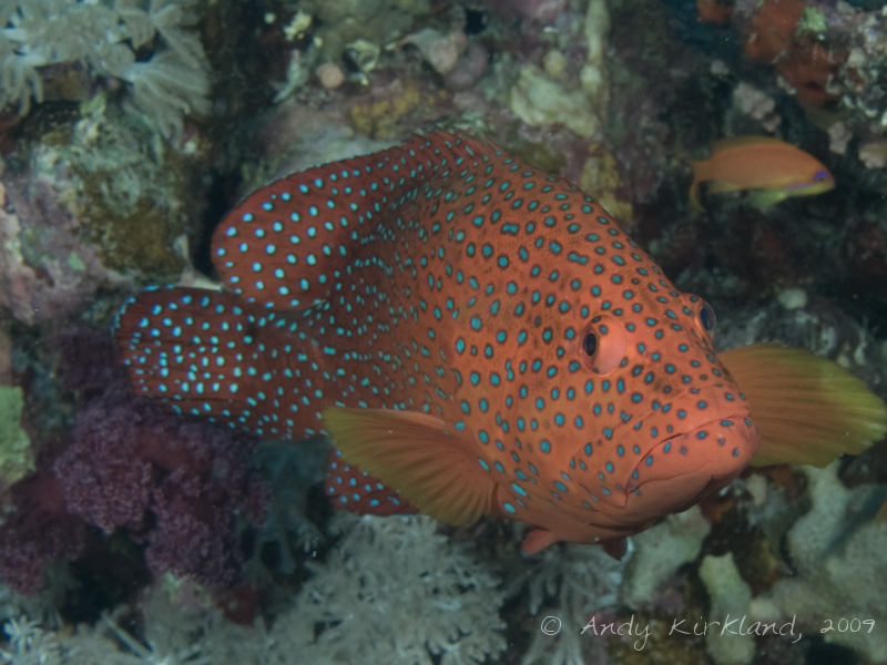 Photo at Shark & Yolanda Reefs:  Coral hind