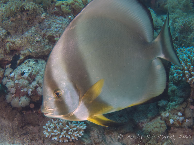 Photo at Shark & Yolanda Reefs:  Tiera batfish