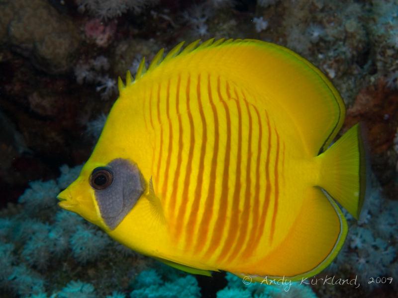 Photo at Ras Zata'ar:  Bluecheek butterflyfish