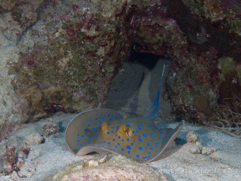 Photo at Ras Zata'ar:  Bluespotted ribbontail ray