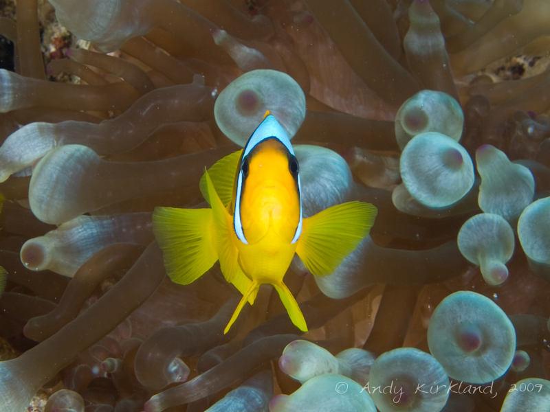 Photo at Ras Zata'ar:  Twoband anemonefish