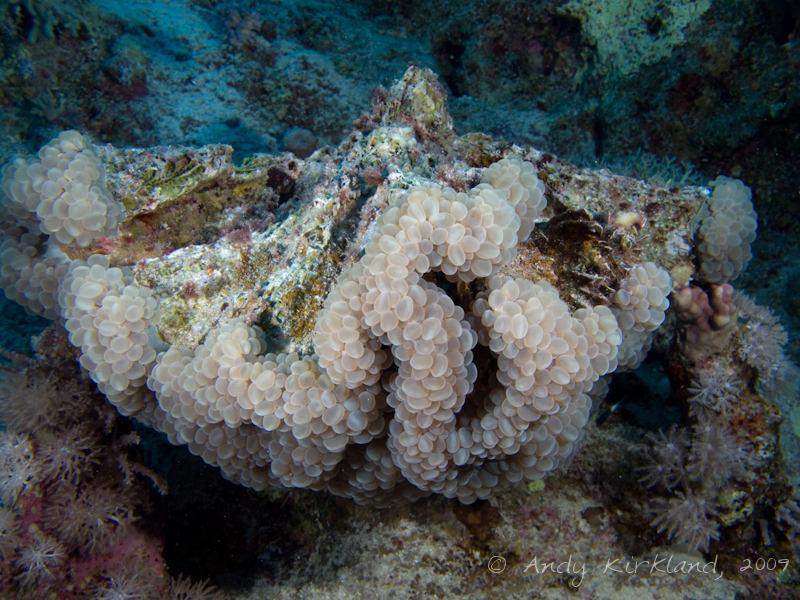 Photo at Ras Zata'ar:  Bubble coral