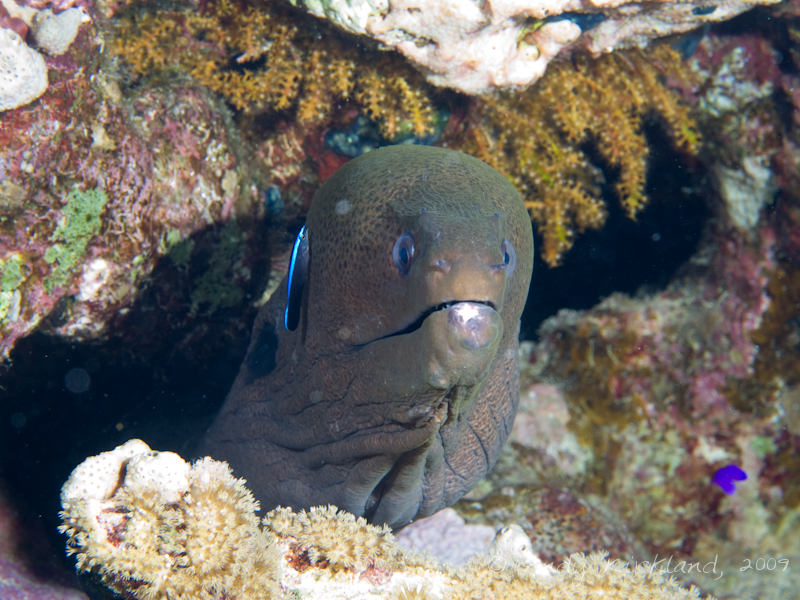 Photo at Ras Zata'ar:  Giant moray