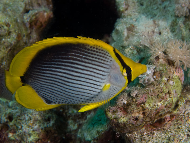 Photo at Ras Um Sid:  Blacktail butterflyfish
