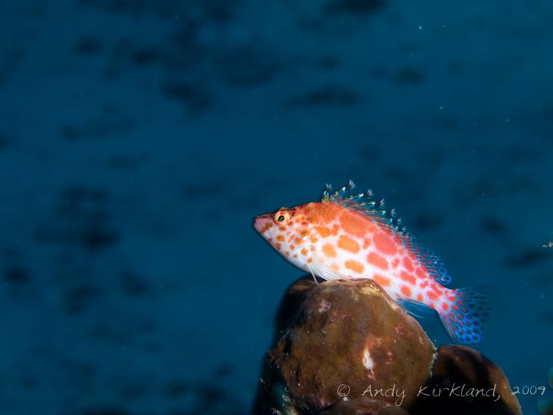 Photo at Ras Um Sid:  Coral hawkfish