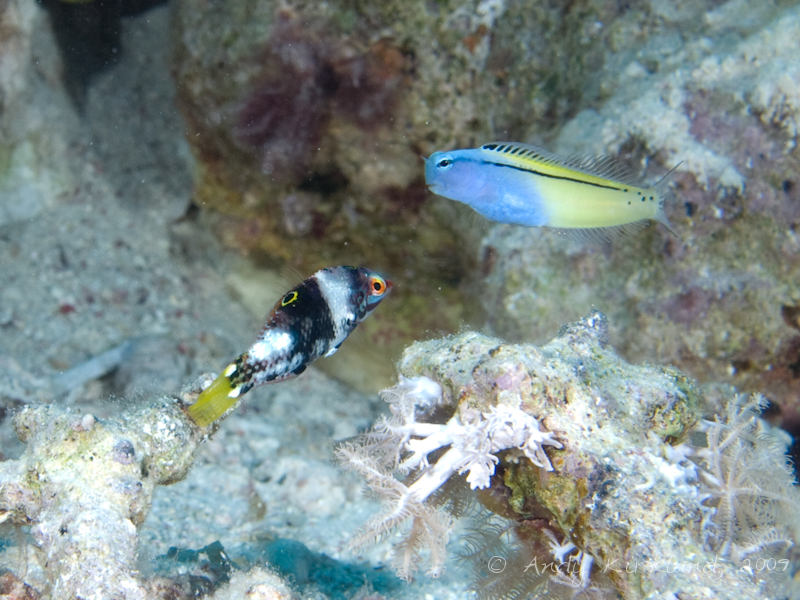 Photo at Ras Um Sid:  Checkerboard wrasse,Red Sea mimic blenny
