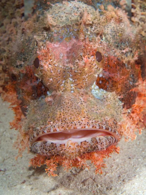 Photo at Ras Um Sid:  Tassled scorpionfish