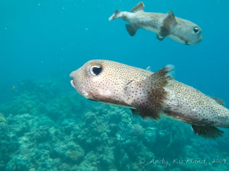 Photo at Dunraven:  Spot-fin porcupinefish ('Balloonfish')