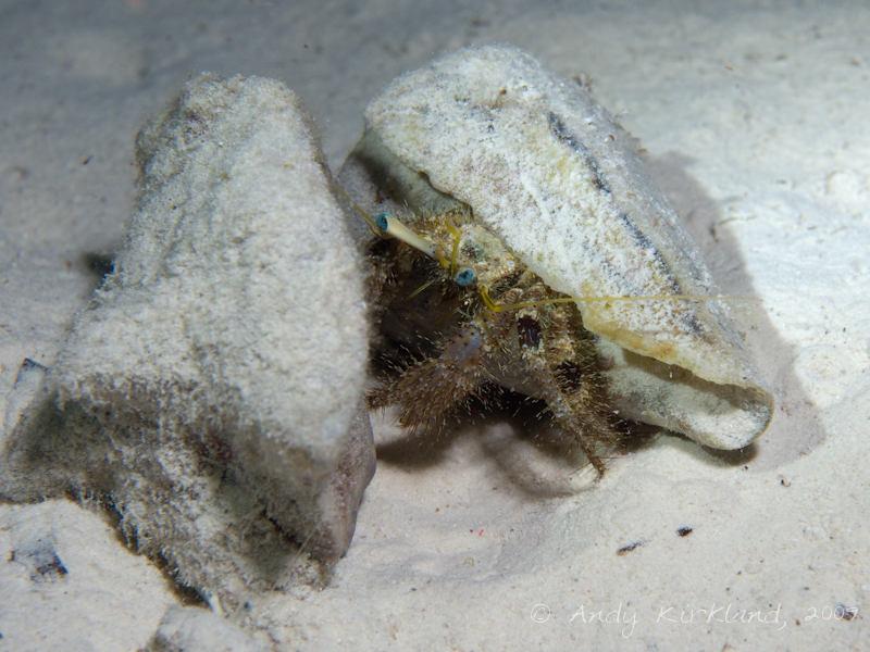 Photo at Sha'ab El Off:  Hermit Crab