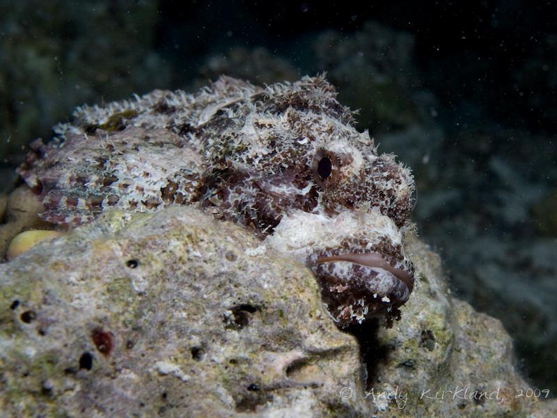 Photo at Sha'ab El Off:  Tassled scorpionfish