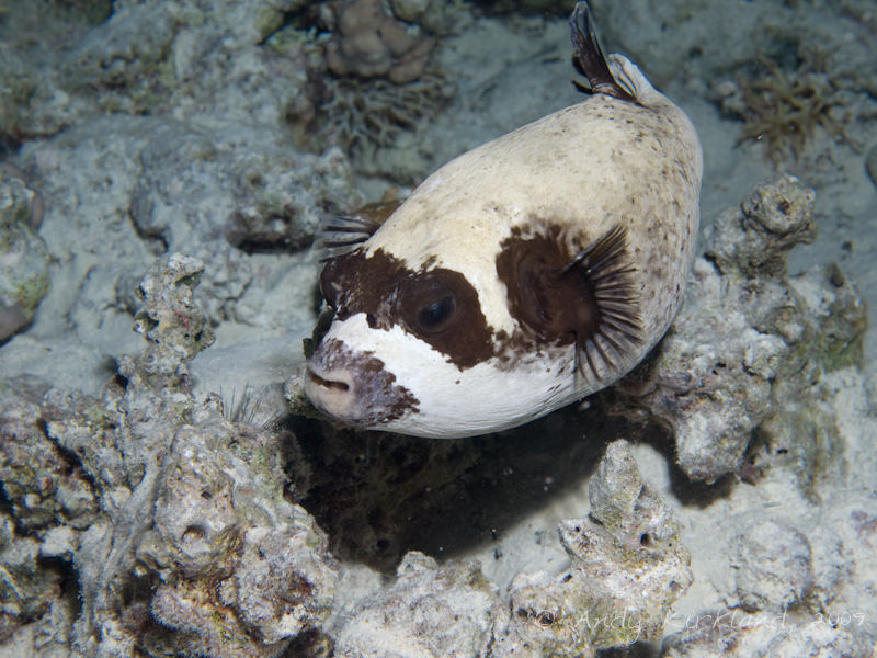 Photo at Sha'ab El Off:  Masked puffer
