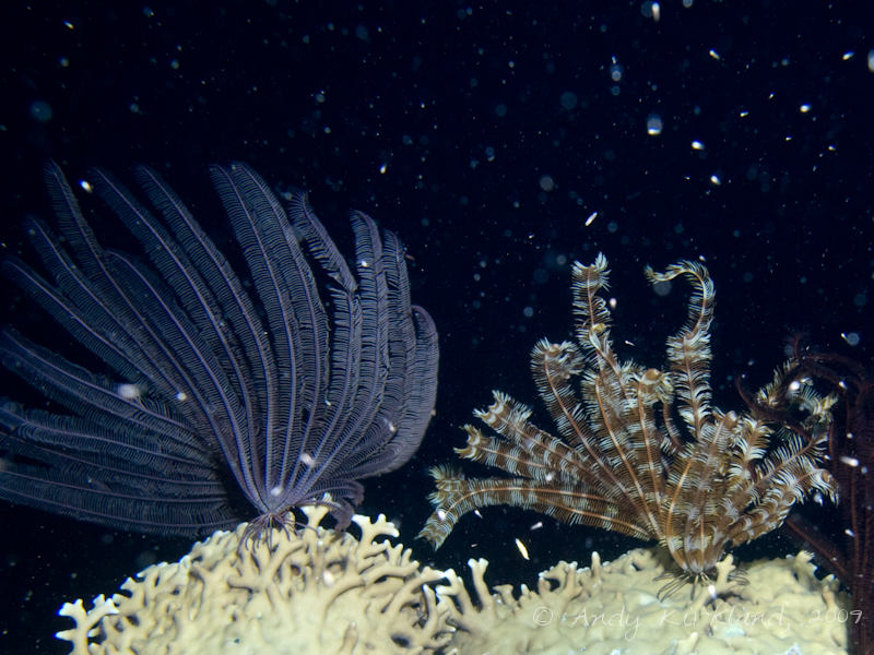 Photo at Sha'ab El Off:  Crinoid feather star