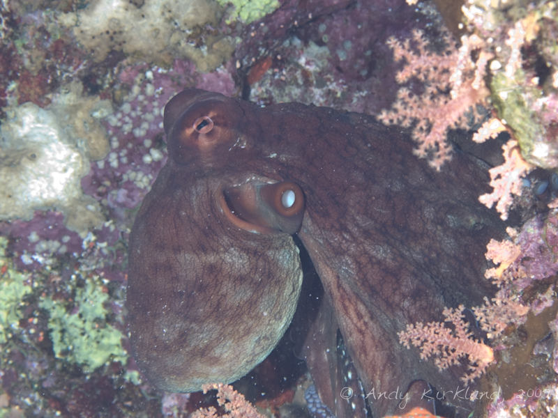 Photo at Jackson Reef:  Reef Octopus