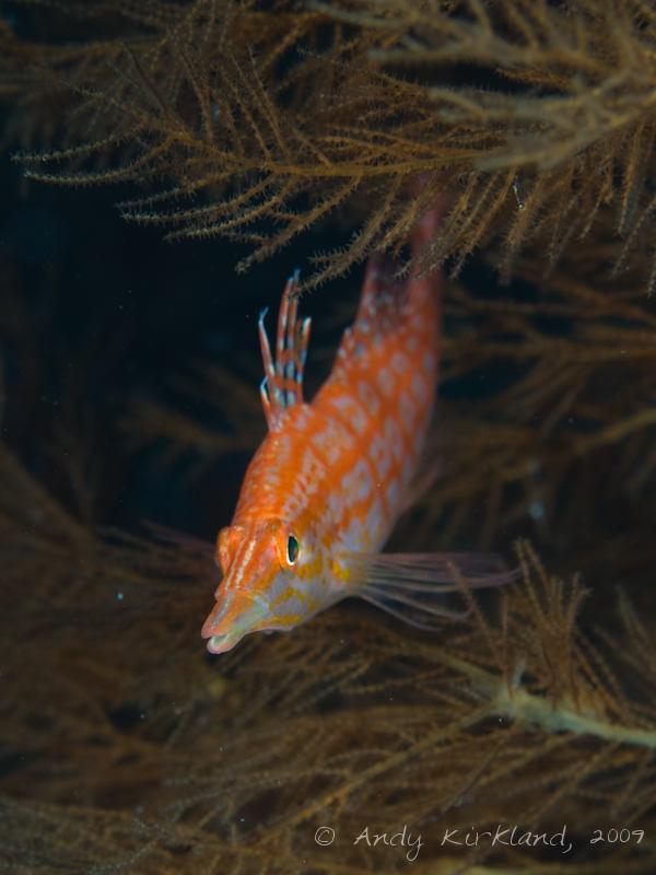 Photo at Jackson Reef:  Longnose hawkfish