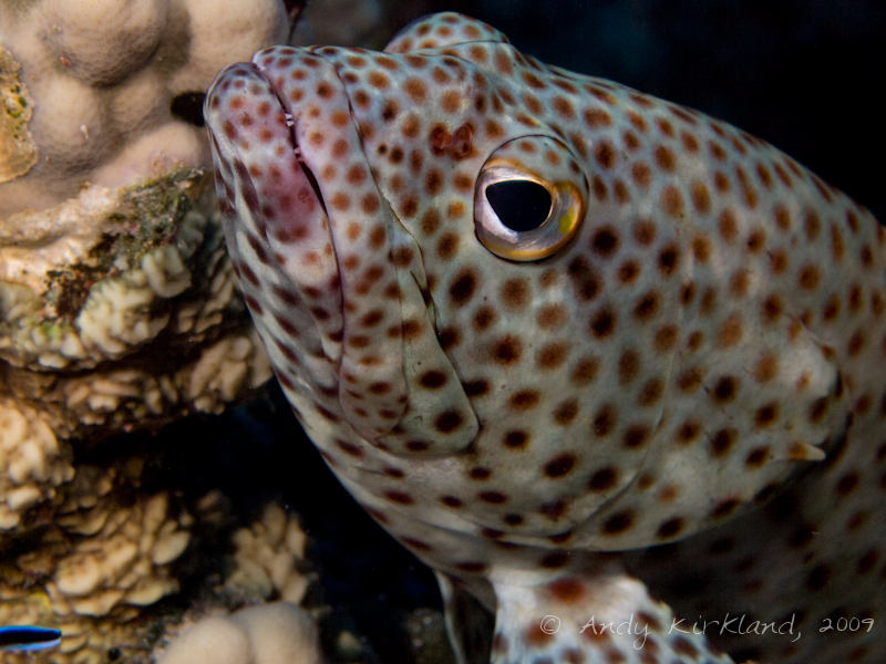Photo at Woodhouse Reef:  Greasy grouper