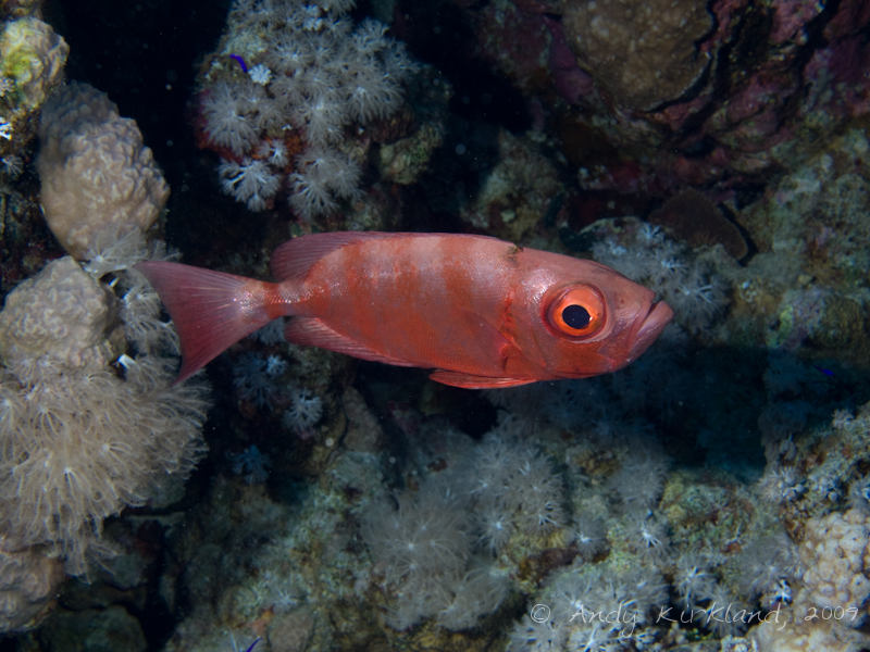 Photo at Woodhouse Reef:  Moontail bullseye