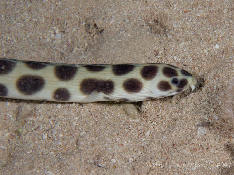 Photo at White Knights:  Tiger snake eel