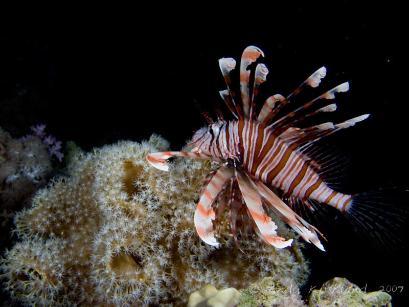 Photo at White Knights:  Devil firefish