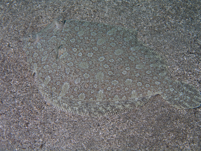 Photo at Neptune's Cave:  Wide-eyed flounder