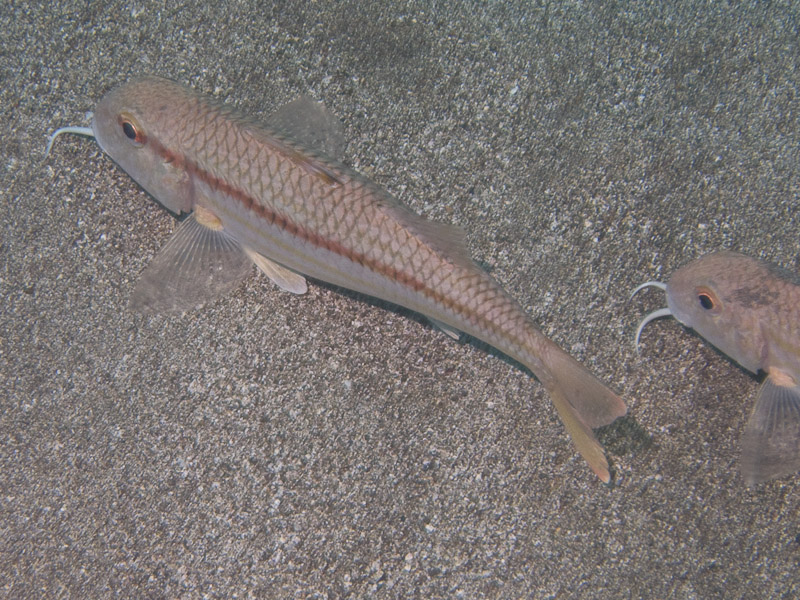Photo at Neptune's Cave:  Striped red mullet