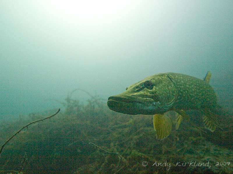 Photo at Dosthill Quarry:  Northern pike