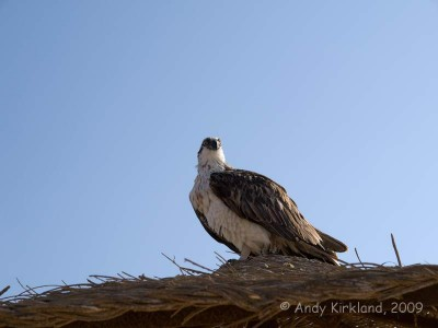 There were a pair of Ospreys nesting at the hotel